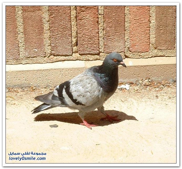 جميلة للحمام Pigeons-48.jpg
