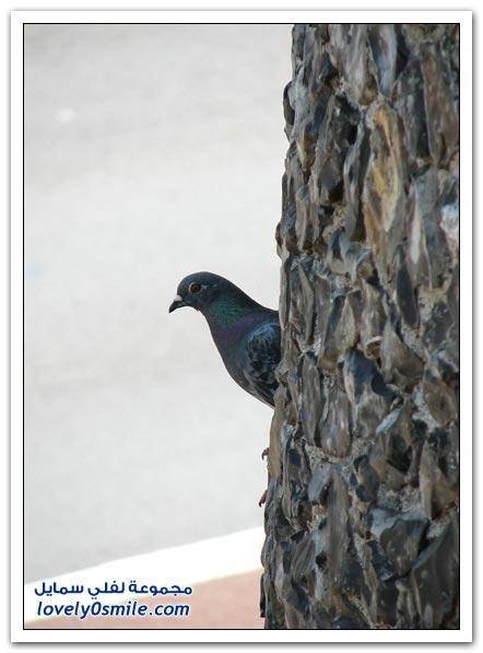 جميلة للحمام Pigeons-50.jpg