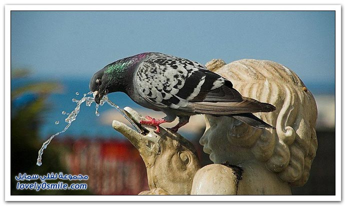 جميلة للحمام Pigeons-51.jpg