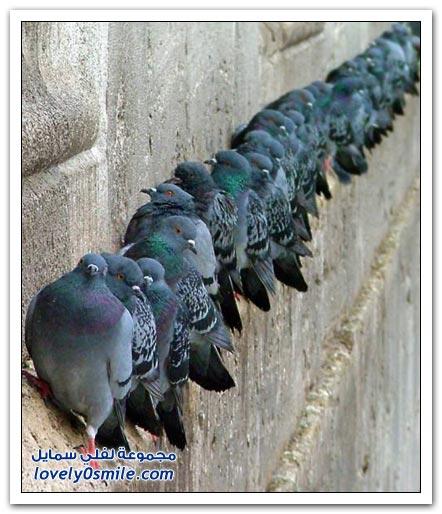 جميلة للحمام Pigeons-54.jpg