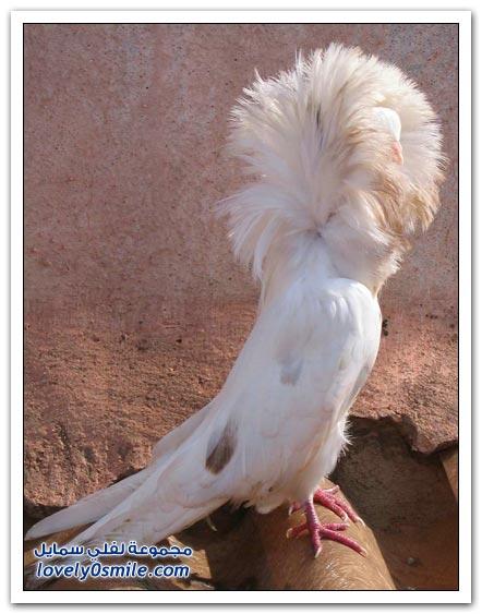 جميلة للحمام Pigeons-55.jpg