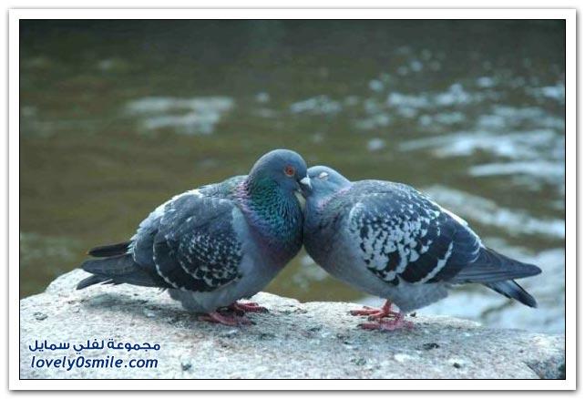 جميلة للحمام Pigeons-58.jpg