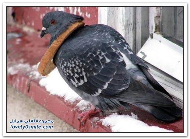 جميلة للحمام Pigeons-59.jpg