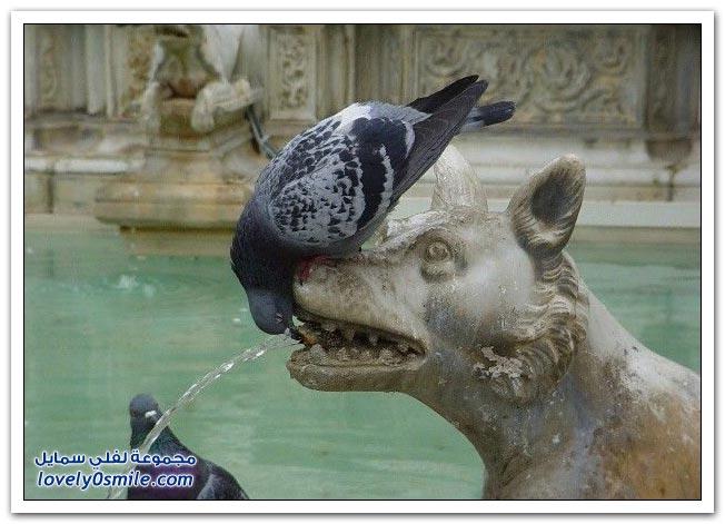 جميلة للحمام Pigeons-60.jpg