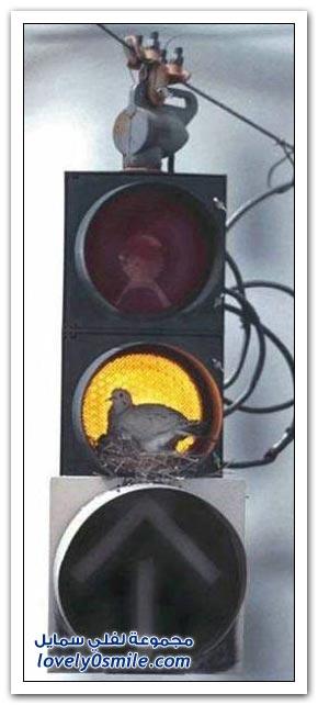 جميلة للحمام Pigeons-62.jpg