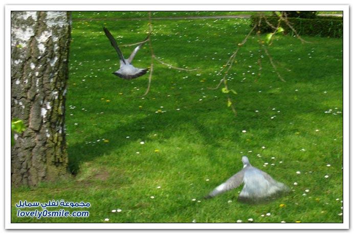 جميلة للحمام Pigeons-73.jpg