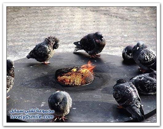 جميلة للحمام Pigeons-78.jpg