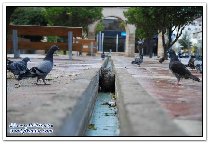 جميلة للحمام Pigeons-89.jpg
