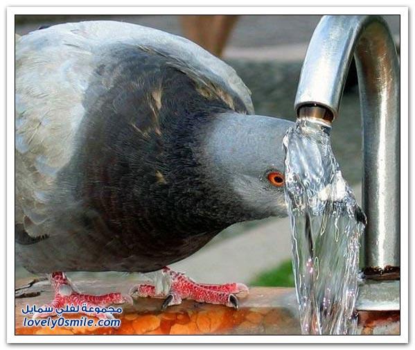 جميلة للحمام Pigeons-92.jpg
