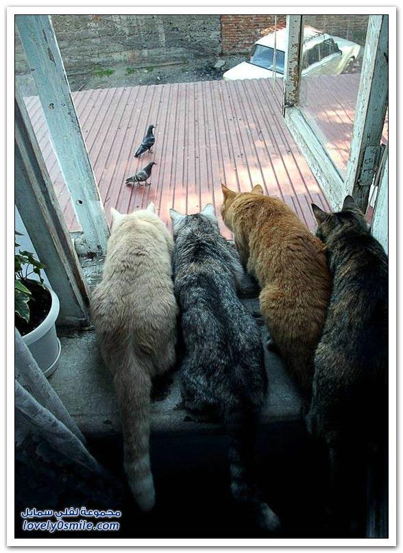 جميلة للحمام Pigeons-93.jpg