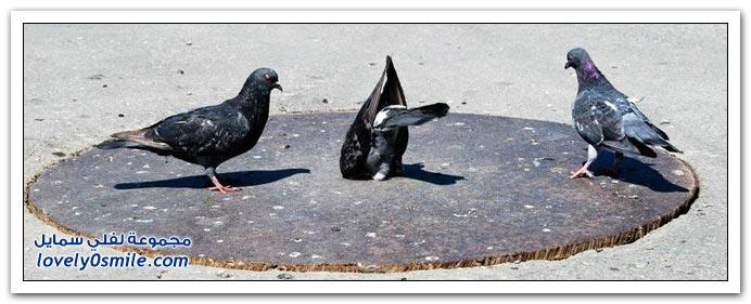 جميلة للحمام Pigeons-94.jpg