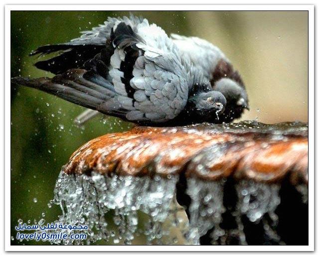 جميلة للحمام Pigeons-96.jpg