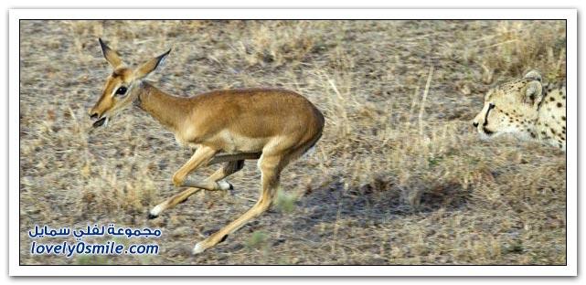 صور نادرة على الطبيعة لفهد وغزال