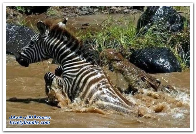 ��� ����� ����� ���� ���� zebra-and-crocodile-01.jpg