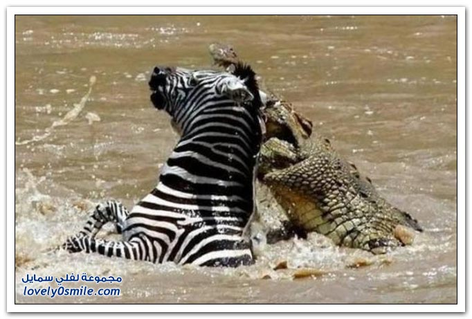 ��� ����� ����� ���� ���� zebra-and-crocodile-02.jpg