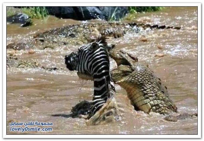 ��� ����� ����� ���� ���� zebra-and-crocodile-03.jpg