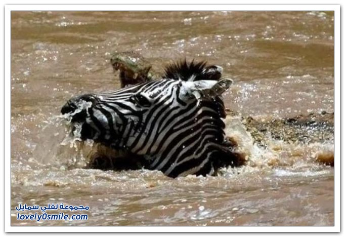 ��� ����� ����� ���� ���� zebra-and-crocodile-04.jpg
