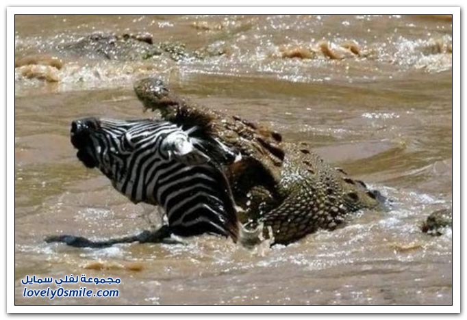 ��� ����� ����� ���� ���� zebra-and-crocodile-05.jpg