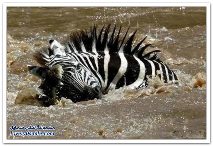 ��� ����� ����� ���� ���� zebra-and-crocodile-07.jpg