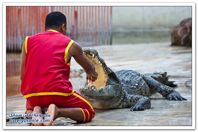 عرض التماسيح في تايلاند