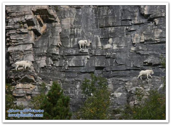 من أكثر الحيوانات مغامرة الماعز الجبلي