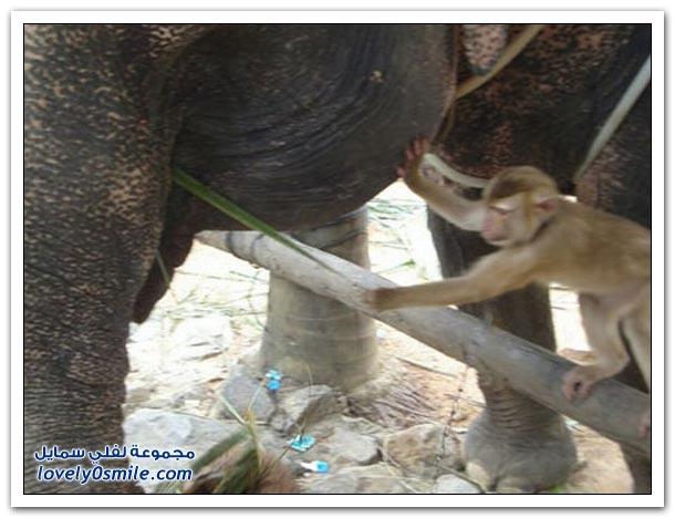 قرد يطعم فيل