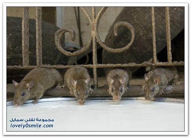 صور فئران القصر في الهند