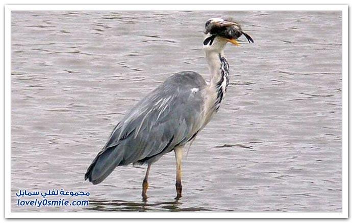 مالك الحزين يأكل طائر