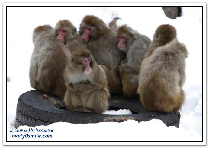 في حديقة الحيوان اليابانية القرود يتكيفوا مع البرد