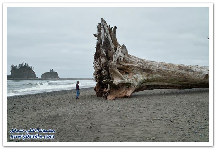 صور السكويا العملاقة أكبر الأشجار في العالم