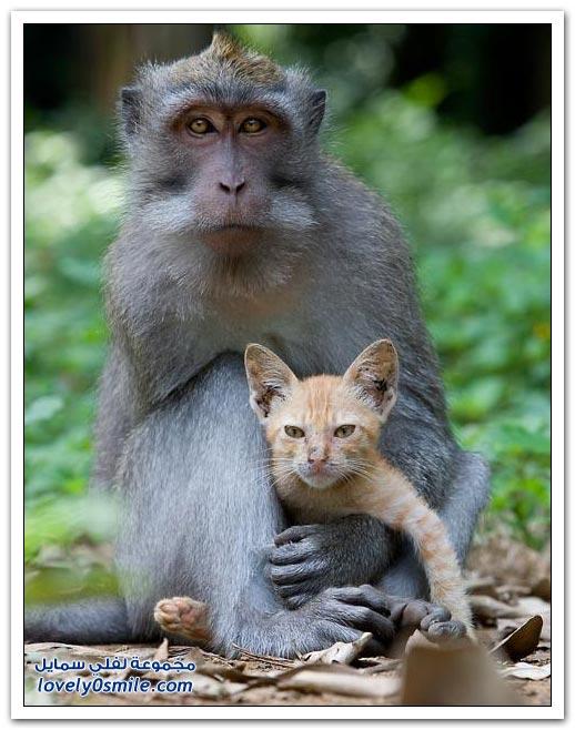صور القرد والقطة حنان بالغصب