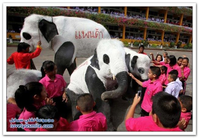 الفيل الباندا بالطريقة التايلاندية