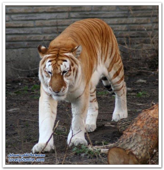 صور النمر الذهبي