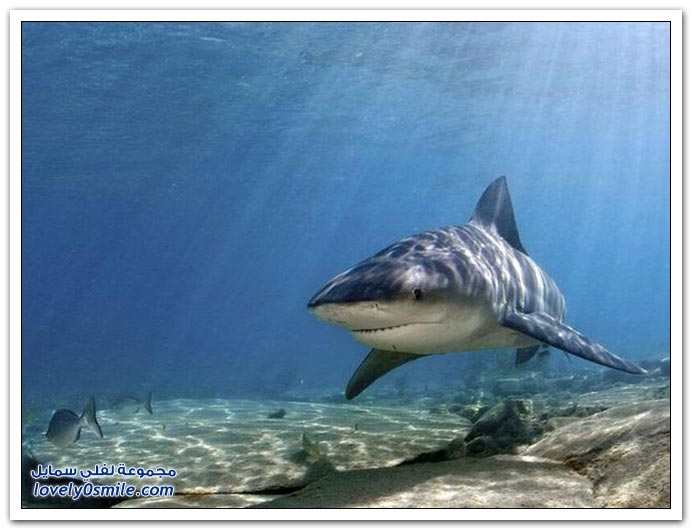 أسماك القرش