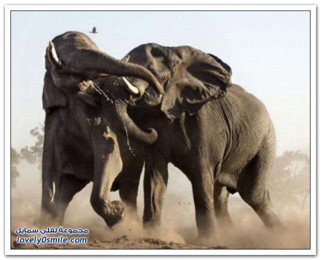 صور قتال الحيوانات