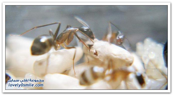 ولادة نملة