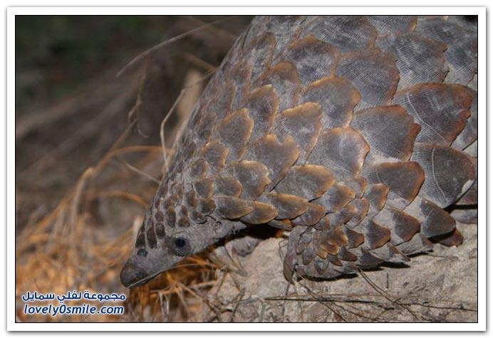 صور من عالم الحيوان: آكل النمل