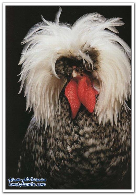 صور الديكة والدجاج الملكي