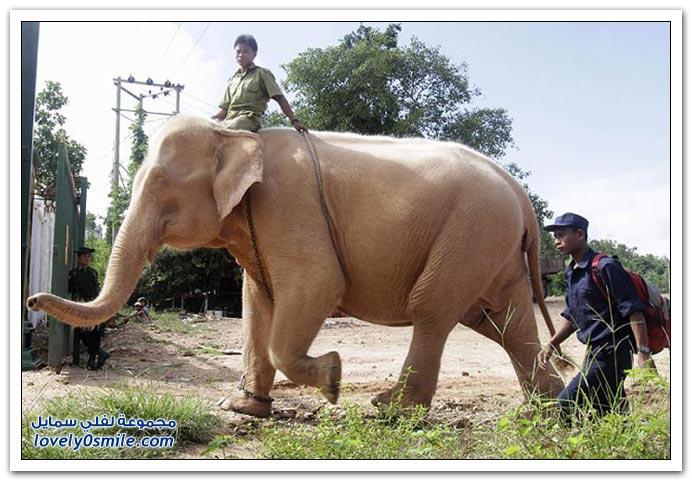 صور فيل أبيض