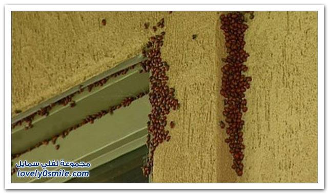 هجوم الخنافس على مدينة في ولاية كولورادو
