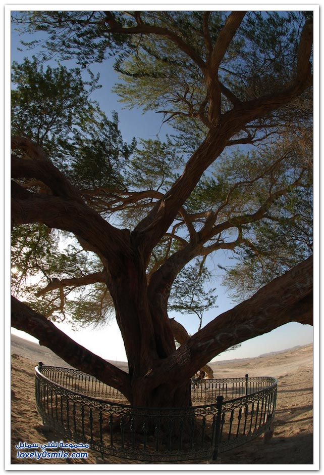 شجرة الحياة في البحرين