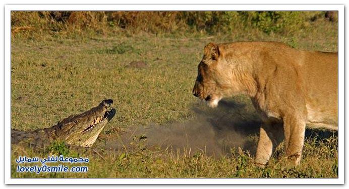 ثلاث أسود تمساح attack-02.jpg