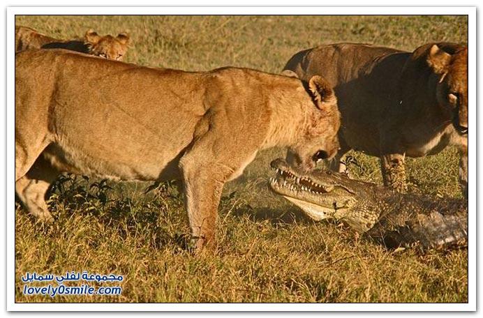 ثلاث أسود تمساح attack-04.jpg