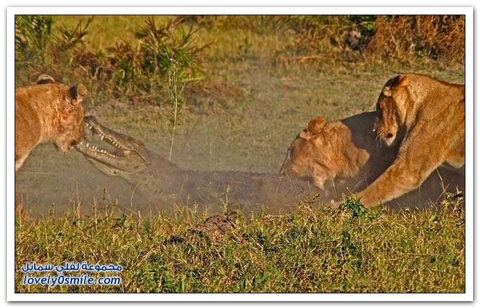 ثلاث أسود تمساح attack-05.jpg