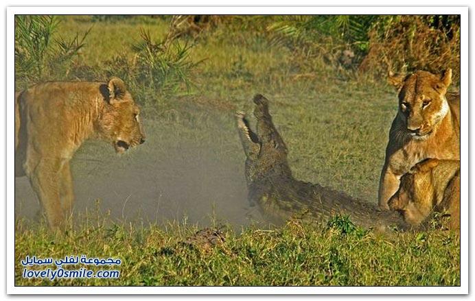 ثلاث أسود تمساح attack-06.jpg