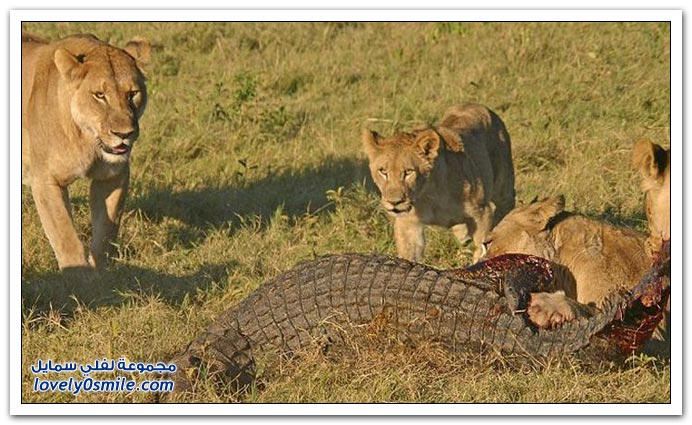 ثلاث أسود تمساح attack-08.jpg