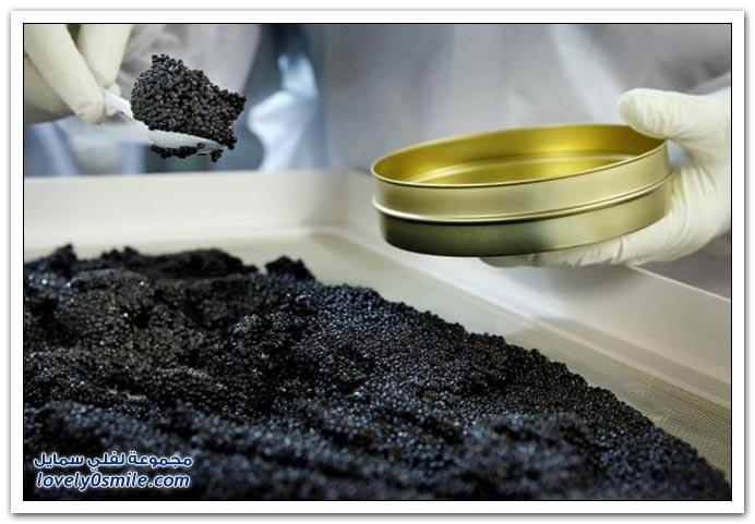 كيف يتم استخراج الكافيار الأسود