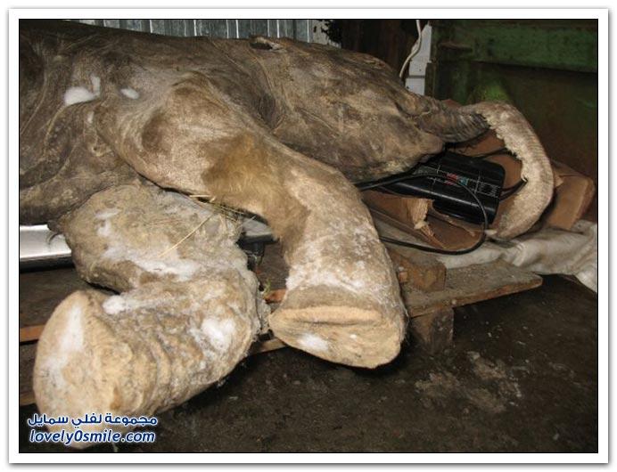 صور رضيع ماموث عثر عليه متجمد في روسيا