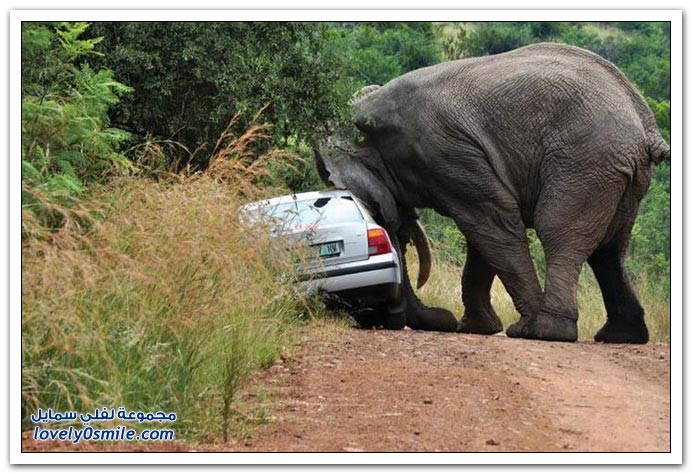 فيل يهاجم سيارة ويقلبها