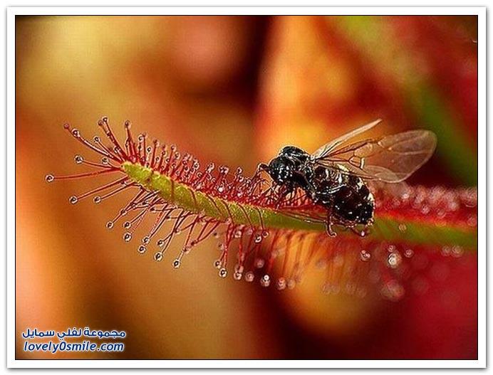 نباتات آكلة الحشرات